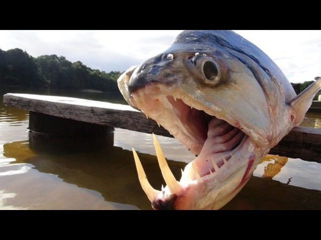 РЫБЫ - ВАМПИРЫ. Чудовища Амазонки с огромными зубами.