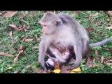 Wahoo!!! Baby Monkey Just Born Today Newborn Baby Monkey Surprise Monkeys 1085 Tube BBC