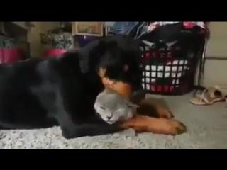 Этот ротвейлер очень любит кота