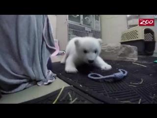 Полярный Медвежонок Получает Свое Имя Мимиметр зашкаливает
