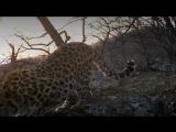 Мощная «распевка» дальневосточного леопарда в Приморье