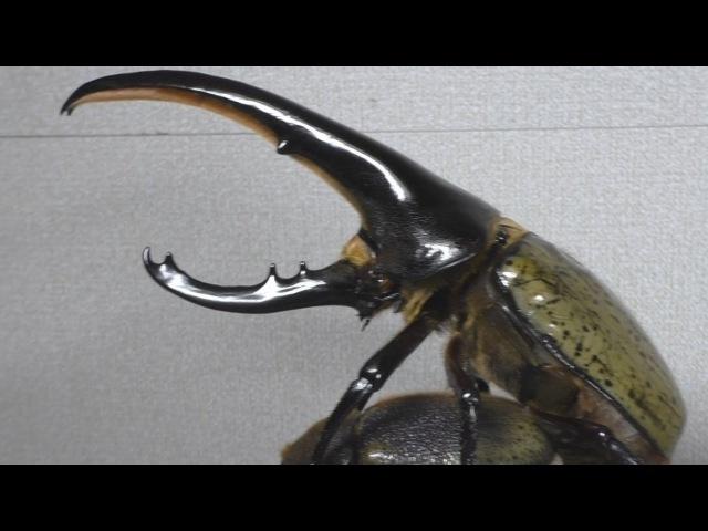 Развитие жука-геркулеса из личинки