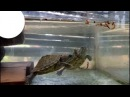 Feeding My Pet Turtle With Worms - Look What Turtle can do will Amaze you