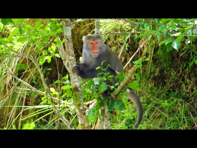 Formosan rock macaque / Тайваньский макак / Macaca cyclopis