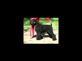 Это видео сделал мой сын Денис ,оно посвящено нашему  любимому Чернышу Цыганскому Барону