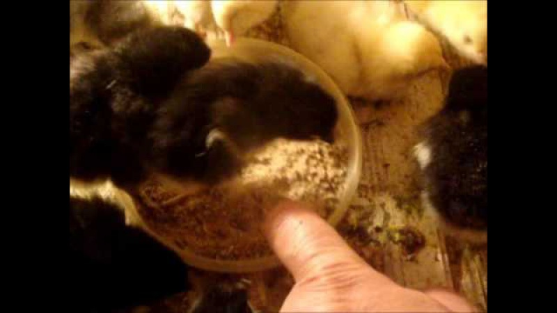 Marans chickens . Маран цыплята .