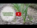 Чеснок летом ➡ Удобрение и полив чеснока в июне 🌟 Стрелки Супер рецепт 🌟 совет