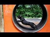 Hund im Laufrad - Hamster dog run+stopp in the wheel
