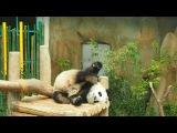 Panda bear in Zoo Negara, Kuala Lumpur.