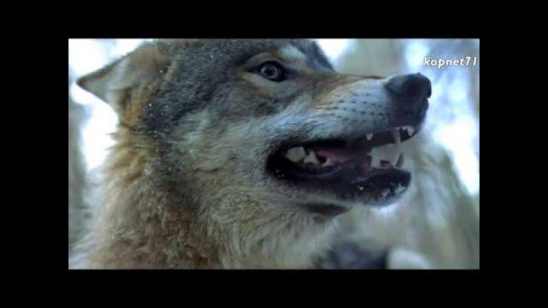 Волчья кровь - Комиссар