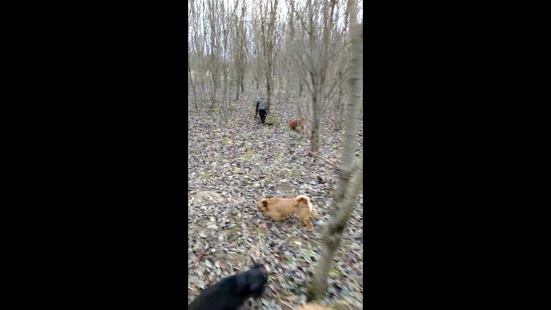 Совместная прогулка 6-тимес. щенка кане-корсо с гриффонами и корги