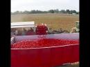 Это машина для сортировки помидор Ну а как же мы без романтики собранных ранним утром спелых плодов руками юных девственниц