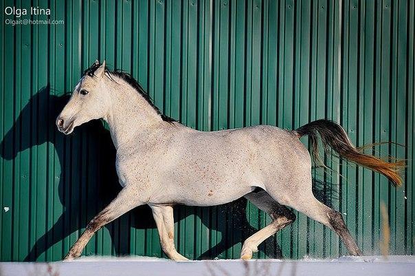 Предлагаем жеребца Арабской Чистокровной породы Нарбек для случки,2003