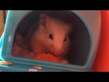 Весёлый хомяк ест морковку, Funny hamster eating carrot