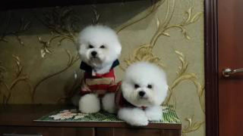 Bichon Frise from the kennel DaVita's Heart. 23.02.2017.