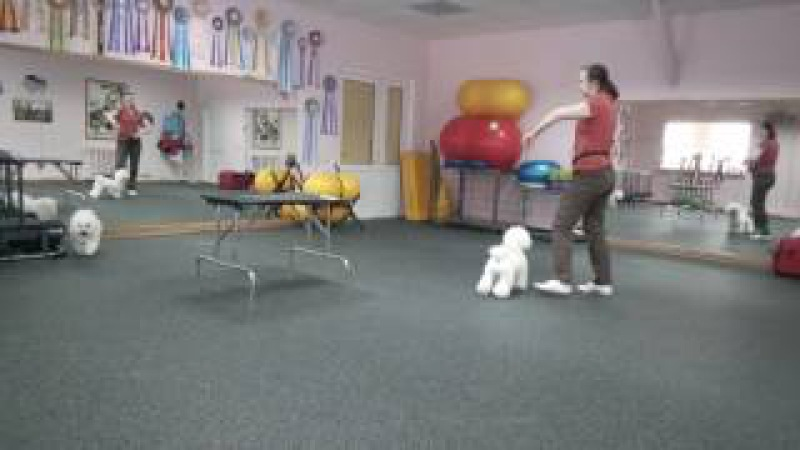 Training with our Bichon Frise, 23.02.2017. Part 3, Kuzya Bulya.