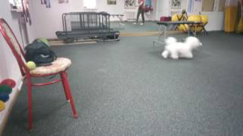 Training with our Bichon Frise, 23.02.2017. Part 4, Kuzya Bulya. Relax!