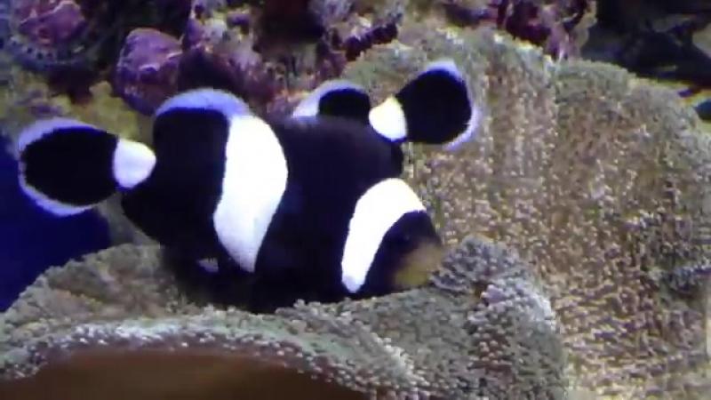 Рыба клоун, Amphiprion Polymnus. Москвариум