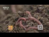 Дождевой червь ЦюИнь, или Ту Ли ЦзюЭ Цзинь Ян, дословно Самородки держащие почву. Разведение дождевых червей ЖэньГ