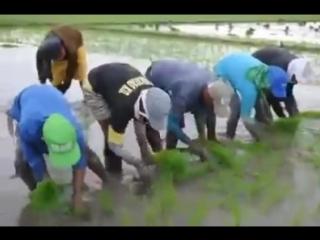 Удивительные рисовые плантации