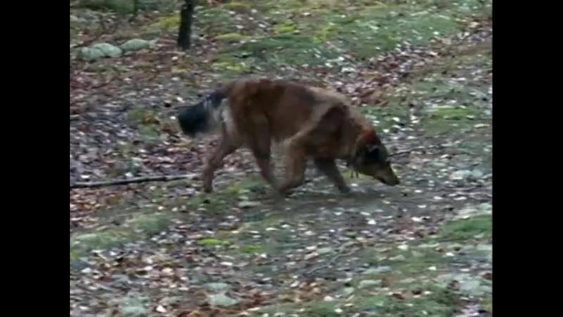 История маленького малыша потерявшегося в борском лесу со счастливым концом.