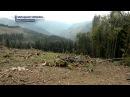 Карпаты лысеют. Кто уничтожает леса на Украине?