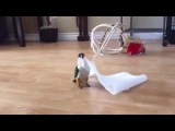 little bird plays with paper towel (Music Dropkick Murphys  I'm Shipping Up to Boston) #coub