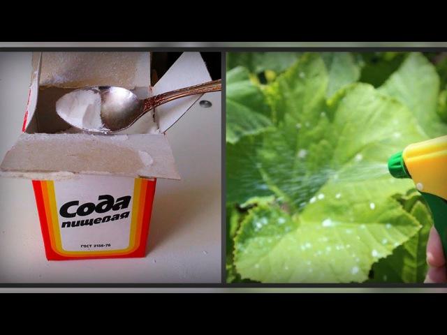 Пищевая сода. Потрясающие свойства соды в саду и огороде