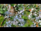 Singing Nightingale. Thrush nightingale. Luscinia luscinia