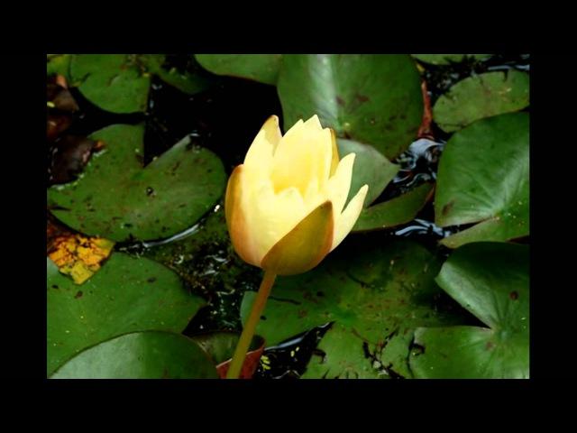 Water Lily Водяная лилия нимфея кувшинка