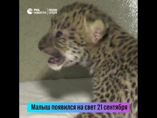 Детеныш леопарда