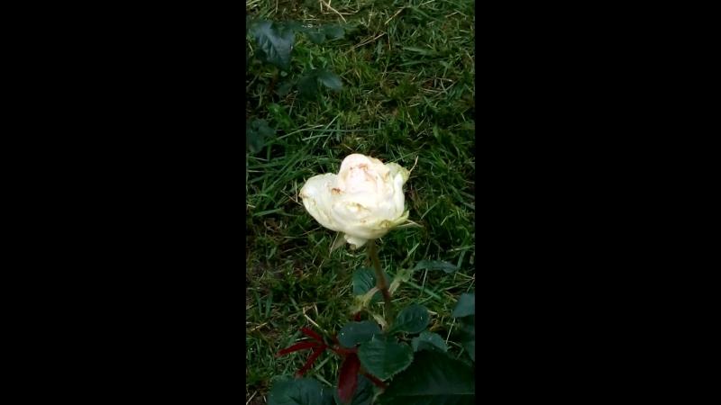 мои розы(Дольче Вита)особенно чувствительна к дождям..до сих пор открывается..дожди конечно ей портят вид..