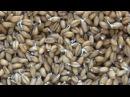 Лечебная КАША из пророщенной пшеницы Как готовить Рецепт
