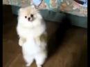 шпиц танцует лезгинку