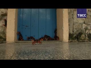 Тысячи крабов оккупировали Остров свободы
