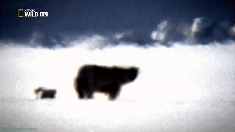 «Убийственные кадры: По следам медведя-призрака» (Документальный, природа, животные, 2011)
