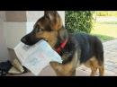 Funniest Cutest German Shepherd Videos 8 - Compilation 2017