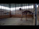 Африканский жираф Жозефина из старооскольского зоопарка (Oskol.city, 28.05.2017)