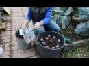 Сажаем гиацинты по новому