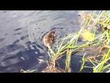 Виселица и утки на реке Тосна.