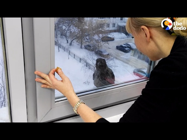 Crow Really Wants Something Inside | The Dodo