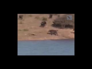 Лучшая озвучка программы «В мире животных»