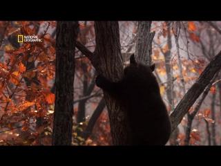Дикая природа России | Гималайский медведь