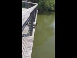 Семья уточек прыгает в воду