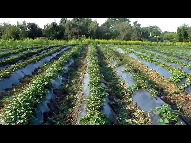 Выращивание батата от А до Я Весь цикл от посадки на рассаду до сбора урожая