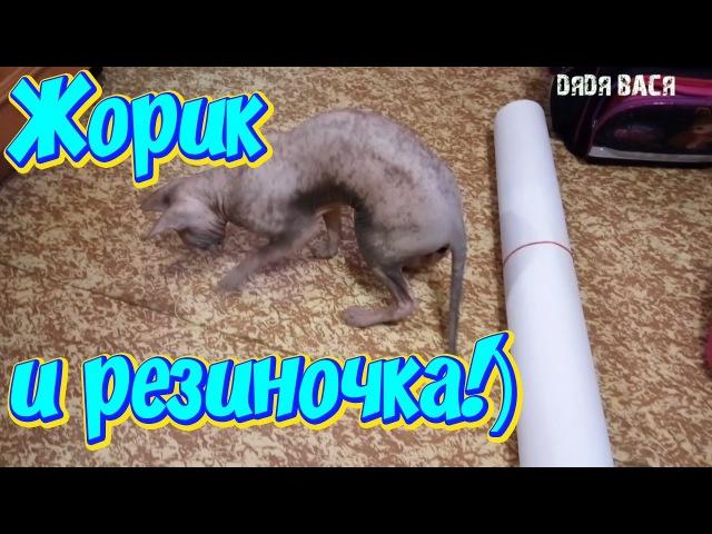 Сфинкс кот и резинка! Жорик продолжает играться!)