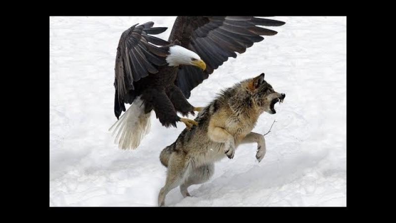 7 World's Largest Eagle Attack Eagles vs Bears vs Fox vs Humans | animalses