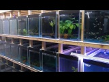 гуппи ------------------------- guppy farm UK. A walk through the fish room
