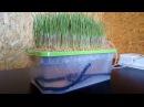Ростки пшеницы // Гидропоника своими руками (метод DWC) // Как повысить яйценоскость зимой