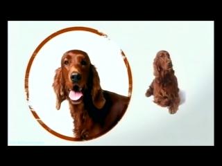 «Введение в собаковедение» (05 серия) (Научно-популярный, животные, 2008)